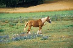 Pferd-1_